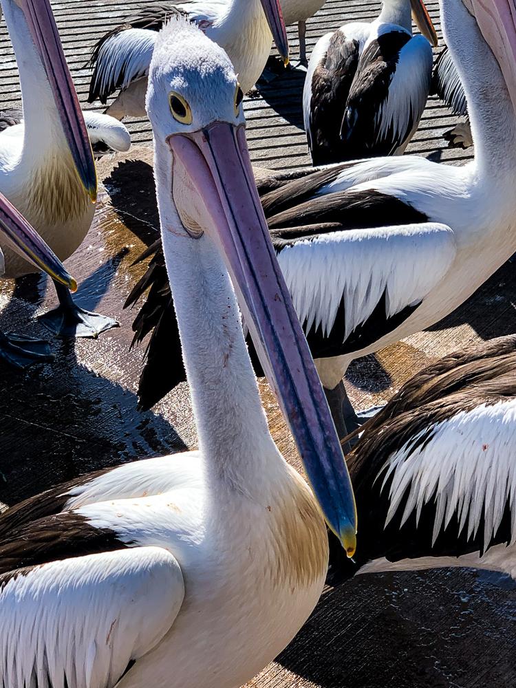 Pelican_Closeup