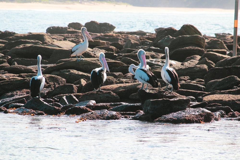 pelicans_roosting