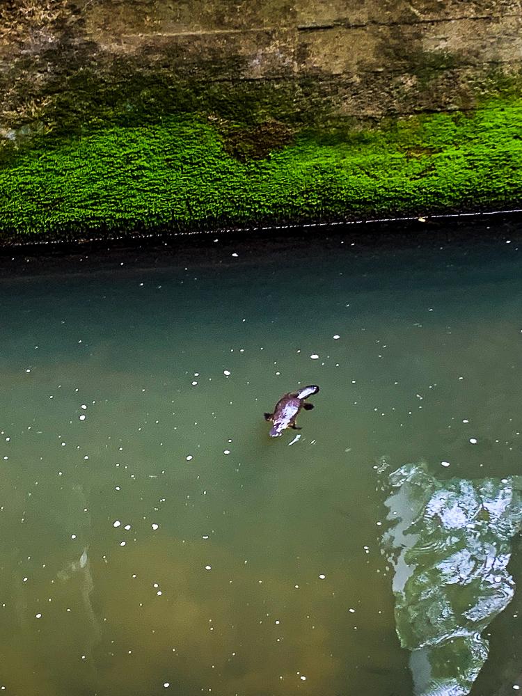 Wild_Platypus_Queensland_Mackay
