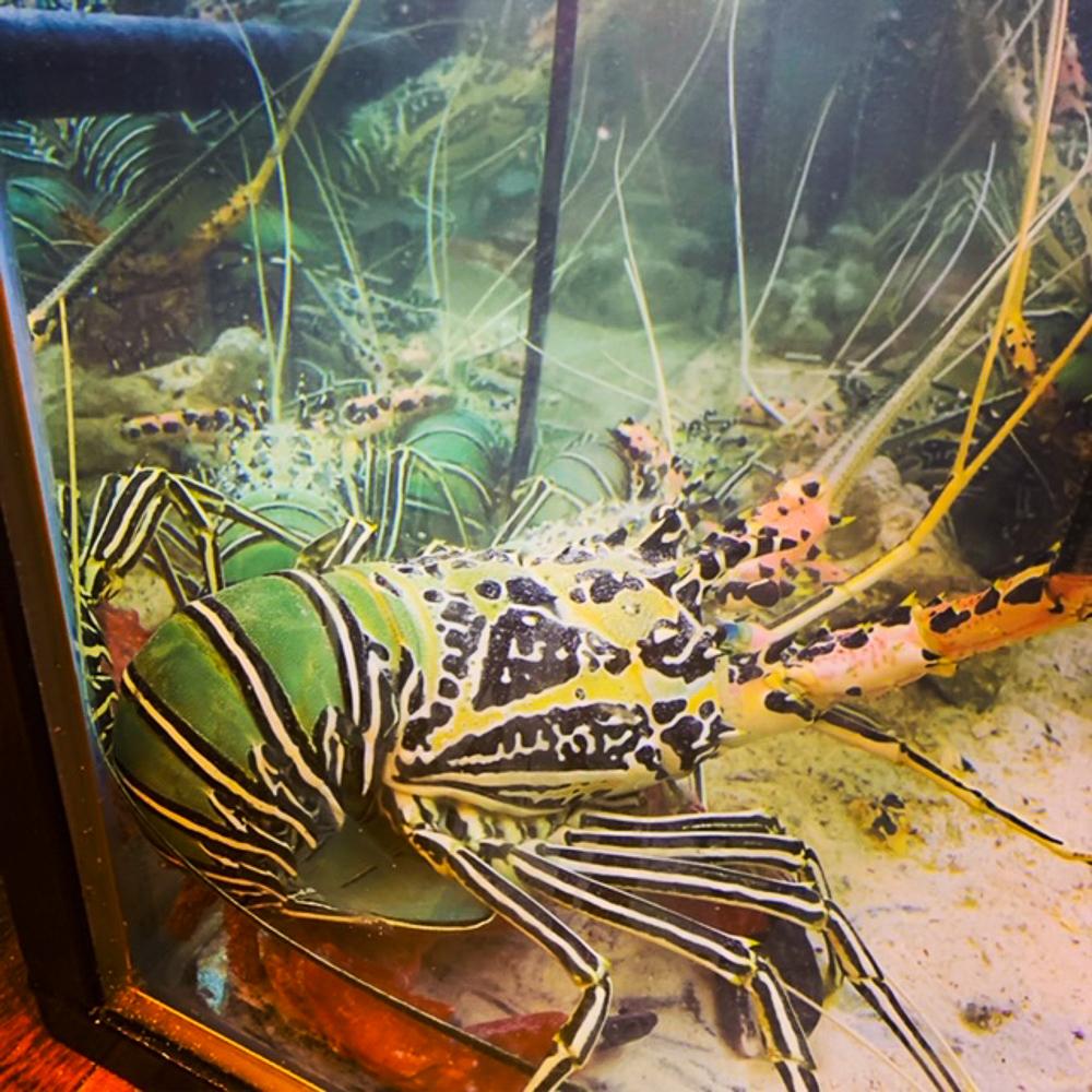 Maldivian_Green_lobster