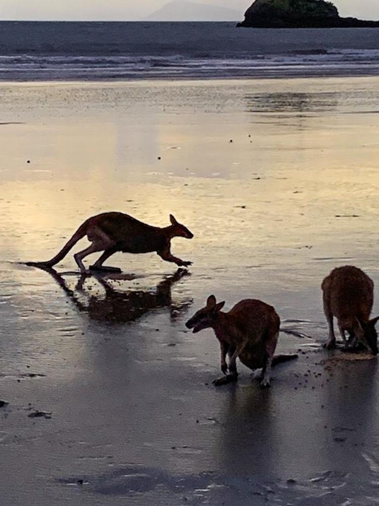 Kangaroos_on_the_beach