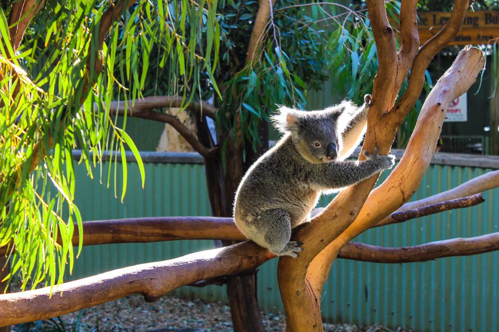Koala_in_tree