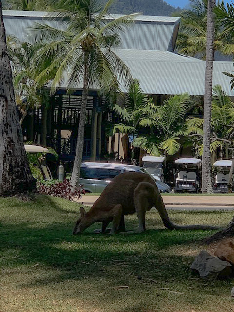 wild_kangaroo_hamilton_island