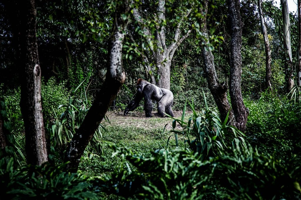 Gorilla-in-green-jungle